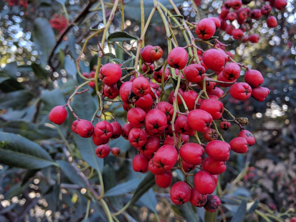 TPF Heteromeles arbutifolia - Toyon (Seed)