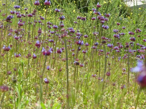 TPF Salvia columbariae - Chia (Seed)