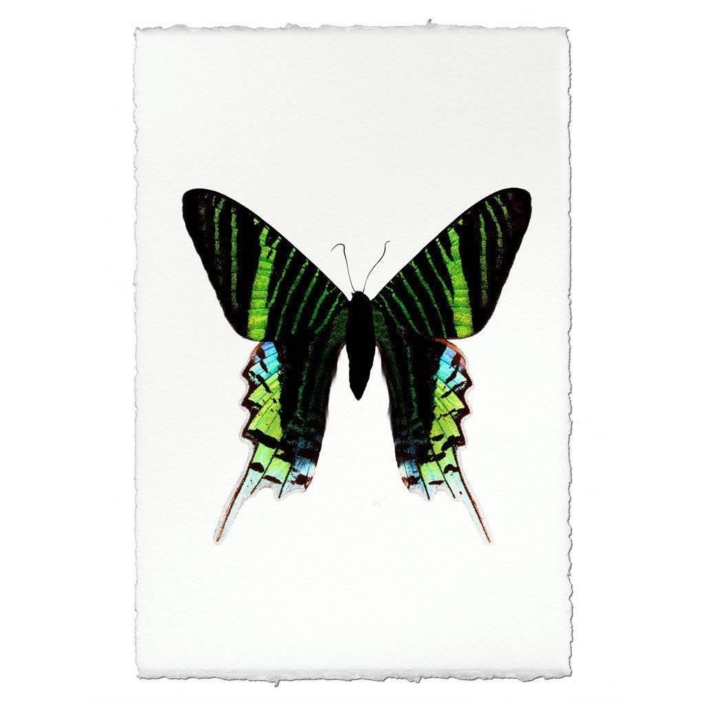 Barloga Studios Butterfly #7 Print