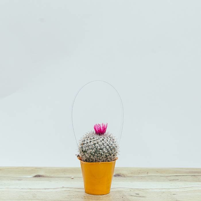 Cactus Strawflower Colour Cup 2.5""