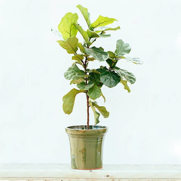 Ficus Fiddle Leaf