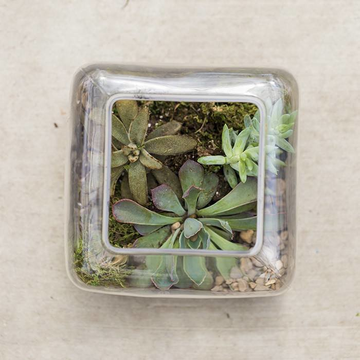 Succulent In Square Glass September 7
