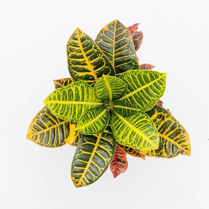 "Croton 4"""