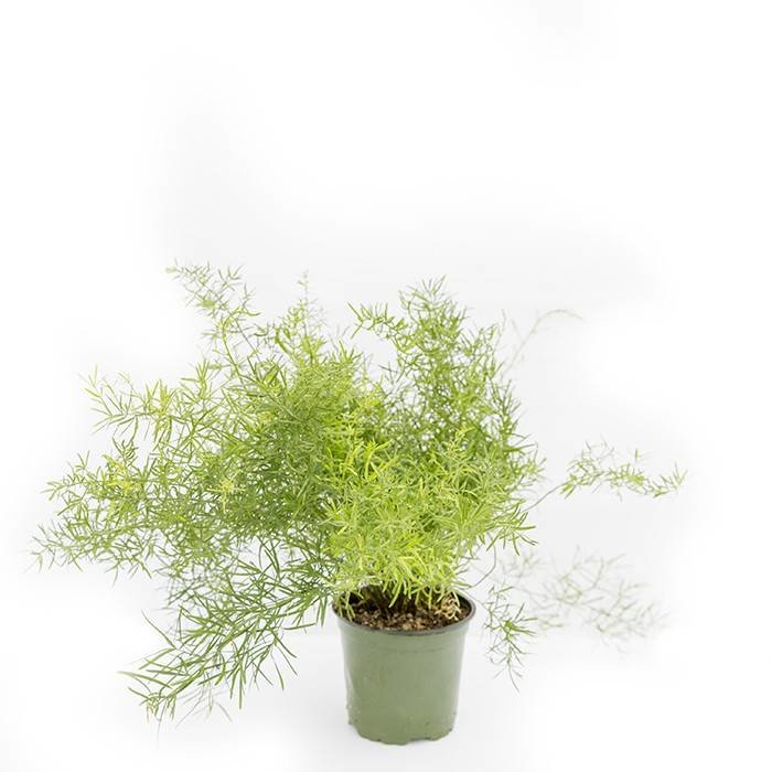 "Asparagus Fern 4"""