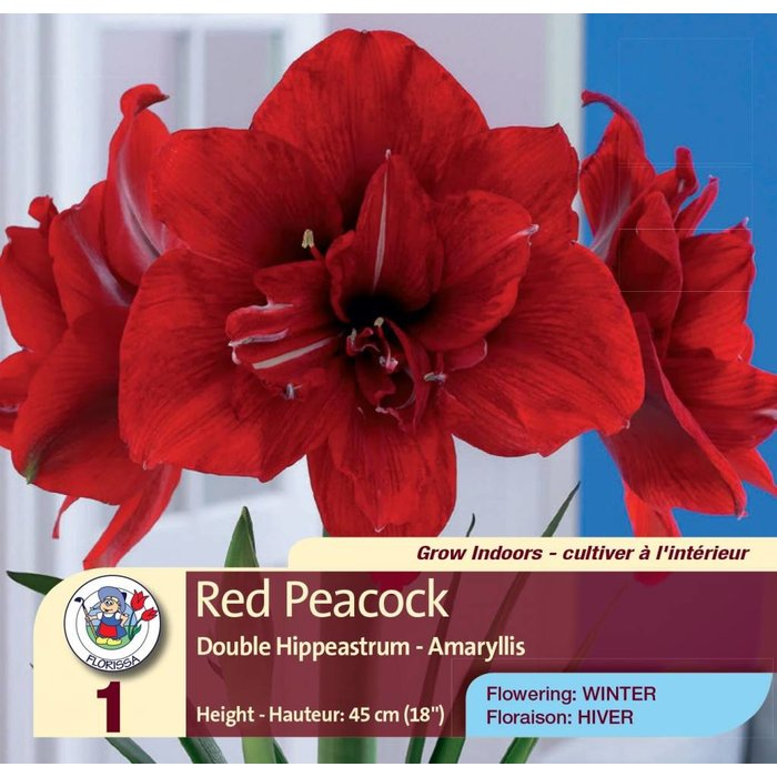 Amaryllis Double Red Peacock