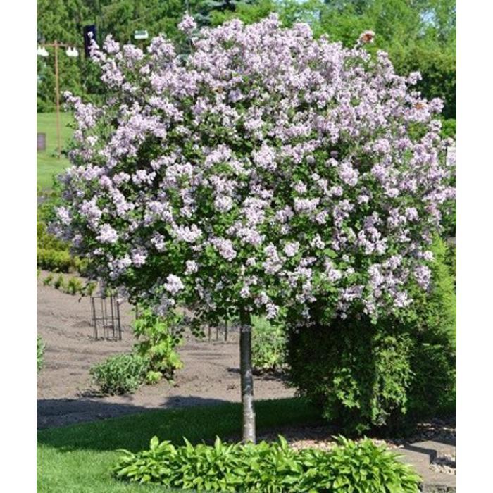 Lilac Bloomerang TG