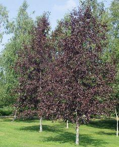 Birch Crimson Frost Dutch Growers