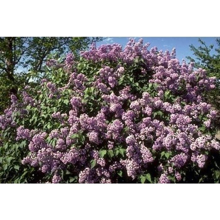 Lilac Common