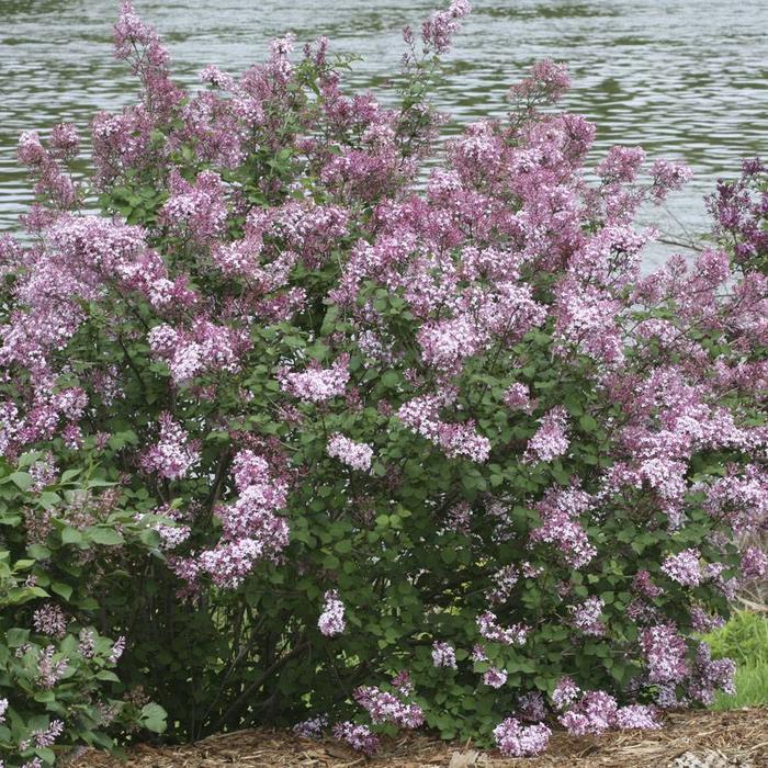 Lilac Bloomerang Pink Perfume