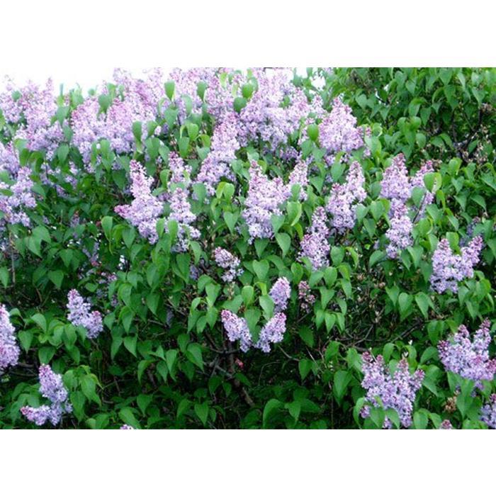 Lilac President Grevy
