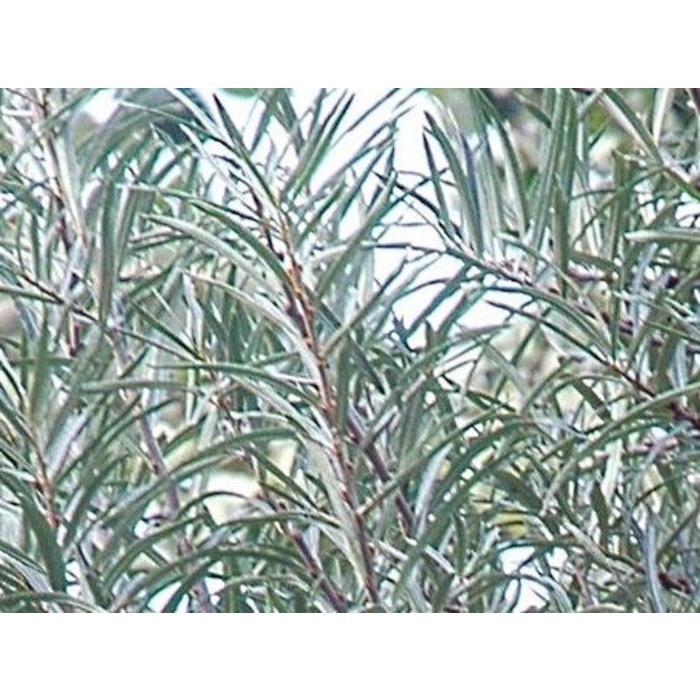 Buckthorn Pollmix Male