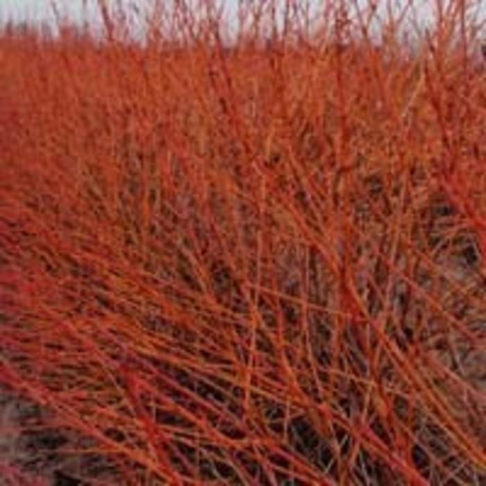 dogwood prairie fire dutch growers