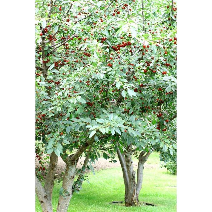 Cherry Evans