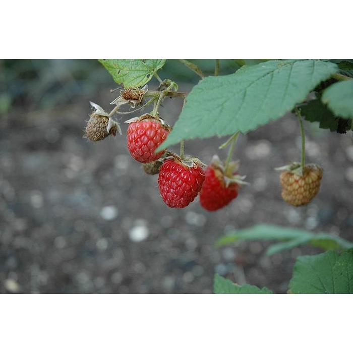 Raspberry Double Delight