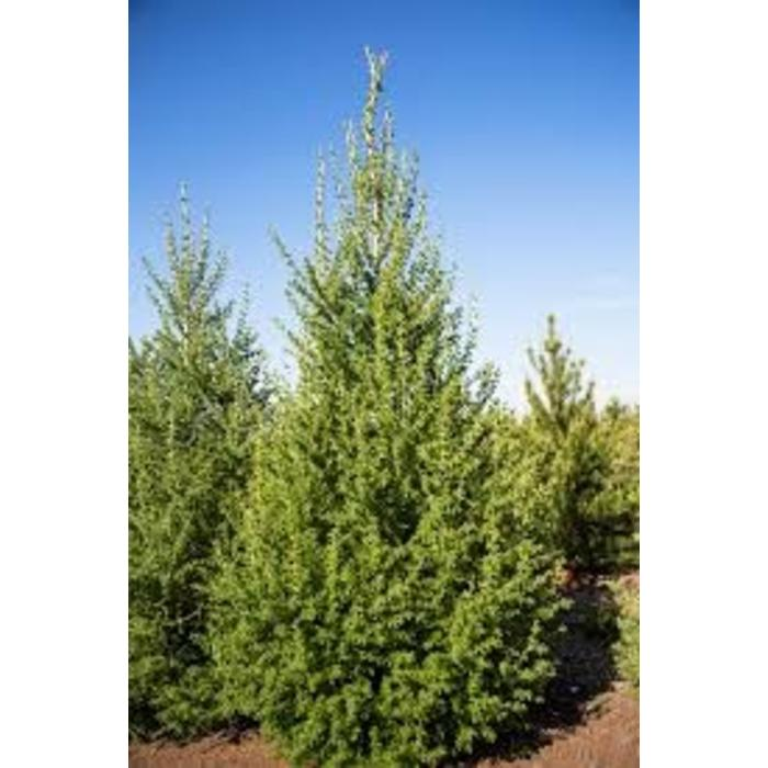 Larch Siberian by Gallon
