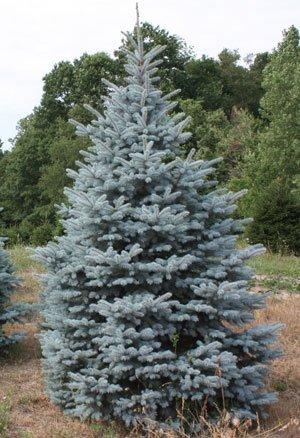 Spruce Baby Blue Dutch Growers
