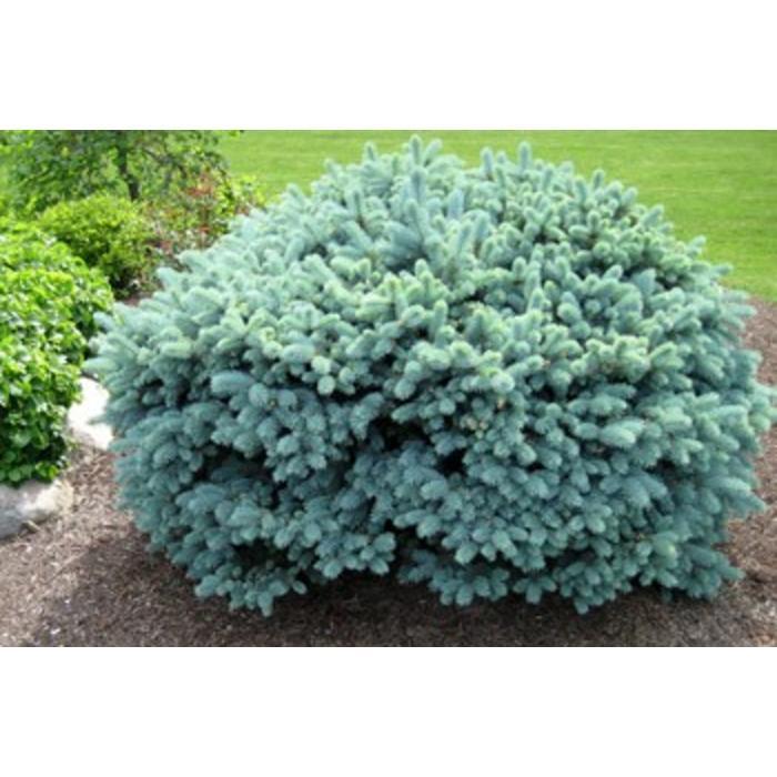Spruce Globe
