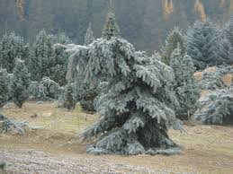 Spruce Weeping Blue Dutch Growers