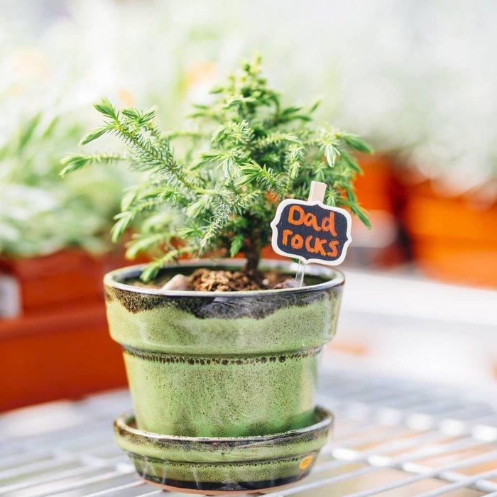 Pot a Bonsai Plant for Dad