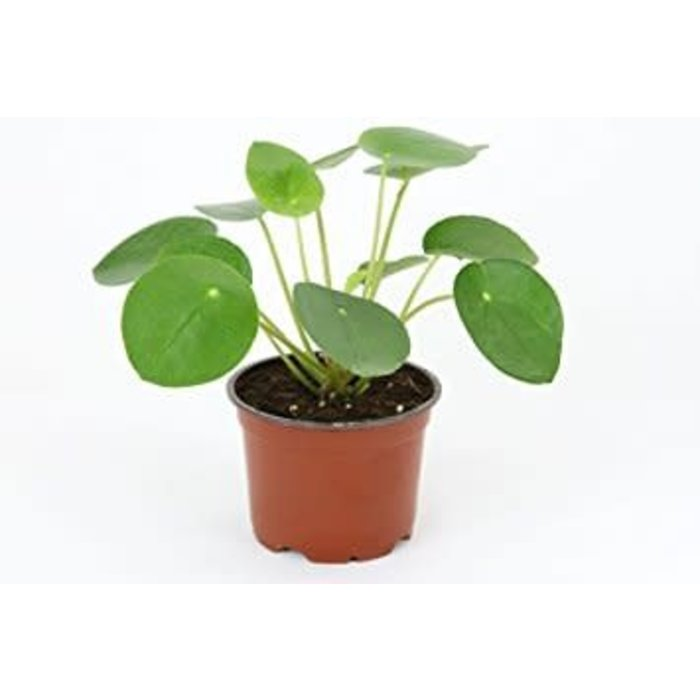 "Chinese Money Plant 2.5"" PRE-ORDER"