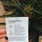 "Pineapple Plant 6"""