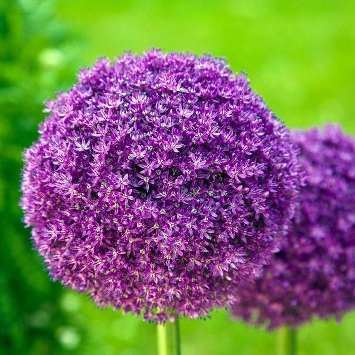 Allium Giganteum PREVIEW