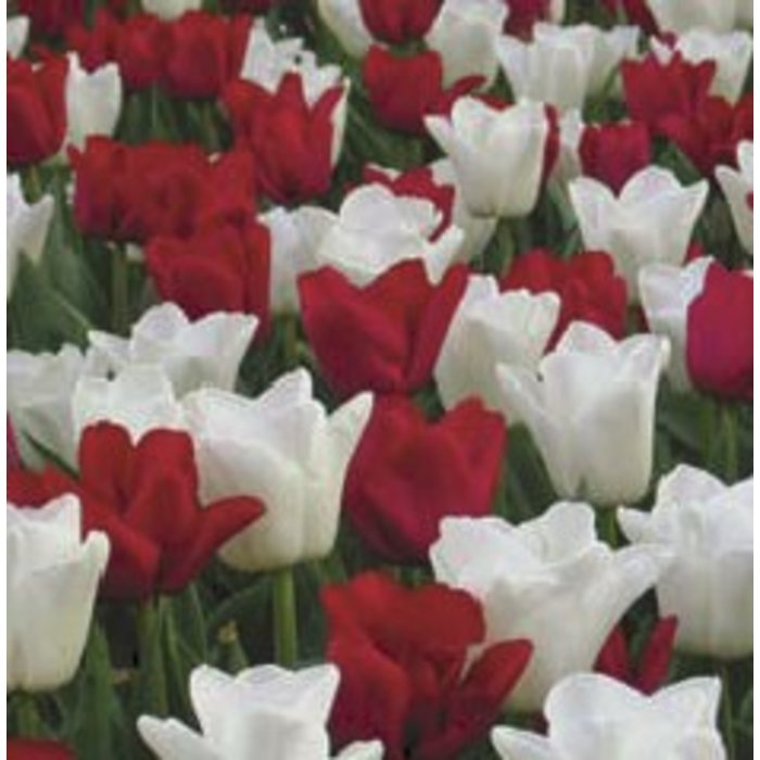 Tulip Canadian Eh PREVIEW