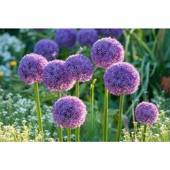 Allium Globemaster PRE-ORDER
