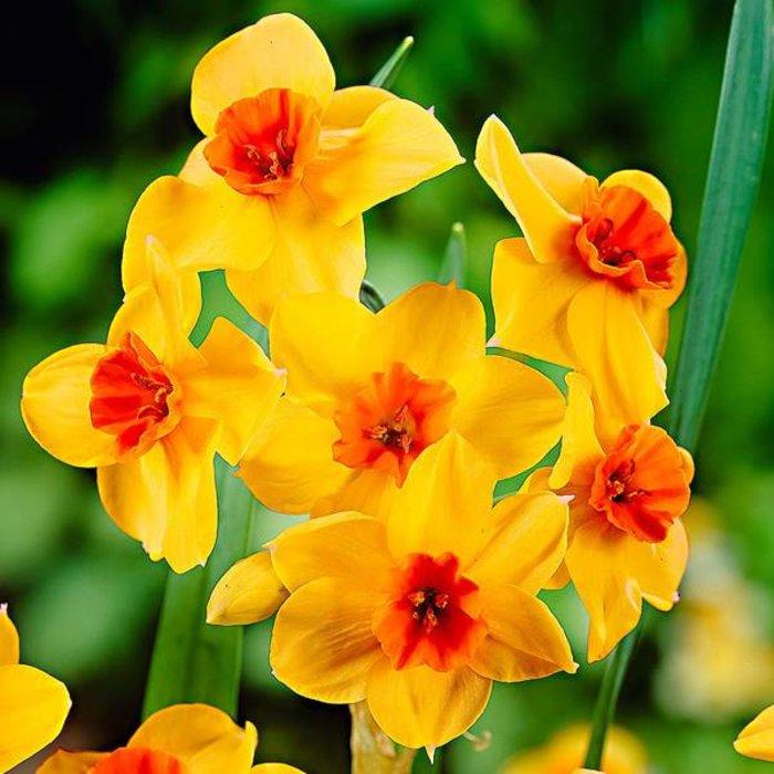 Narcissus Falconette Tops
