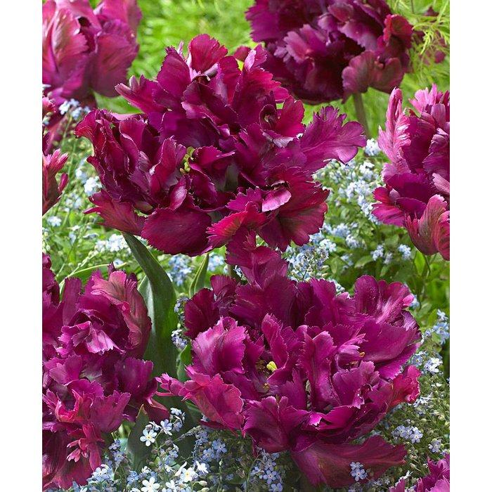 Tulip Secret Parrot PRE-ORDER