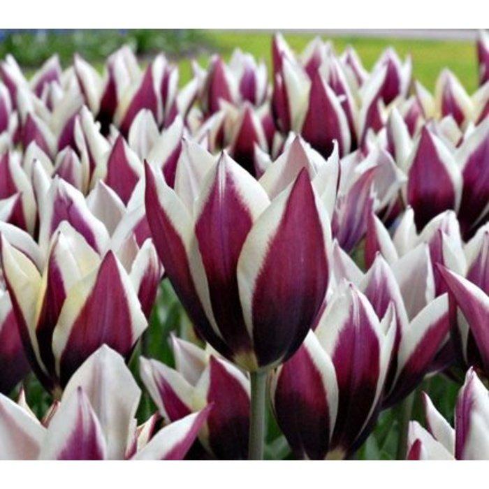 Tulip Chansonette PREVIEW