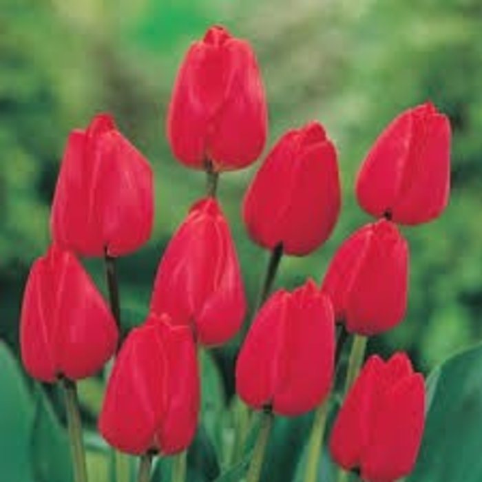 Tulip Landscape Red PREVIEW