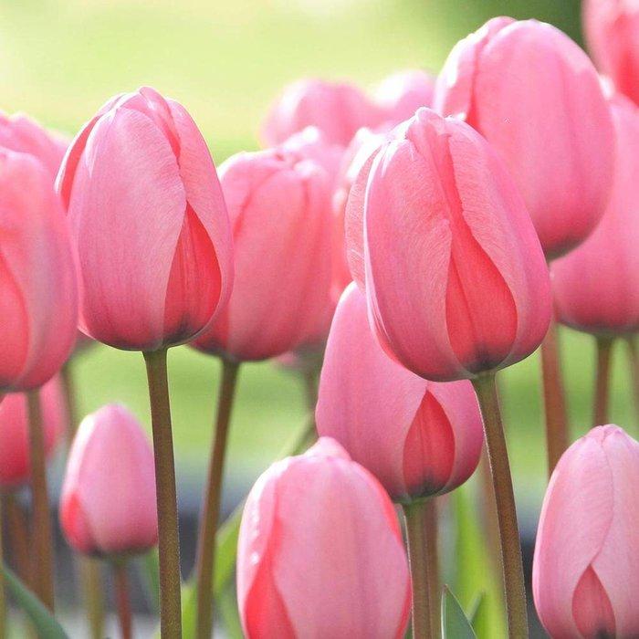 Tulip Landscape Pink