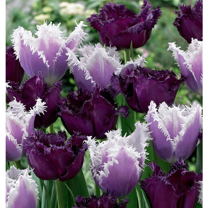 Tulip Feathered Fascination PRE-ORDER