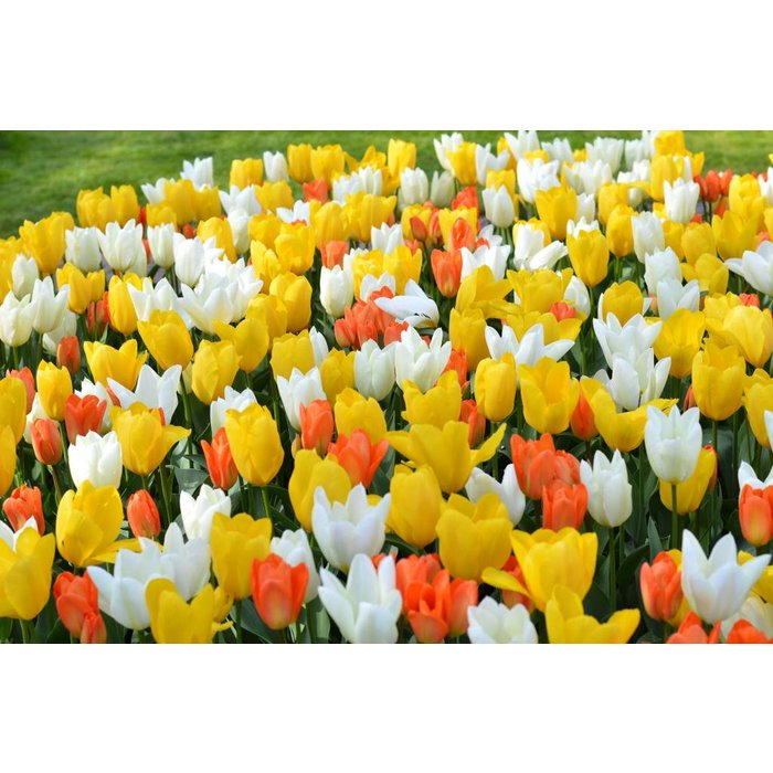 Tulip Emperor Mix