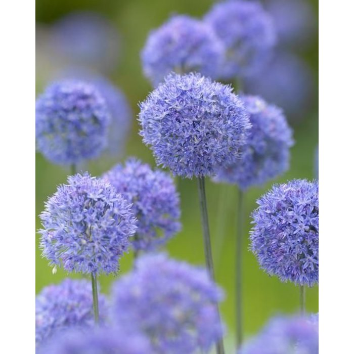 Allium Azureum PREVIEW