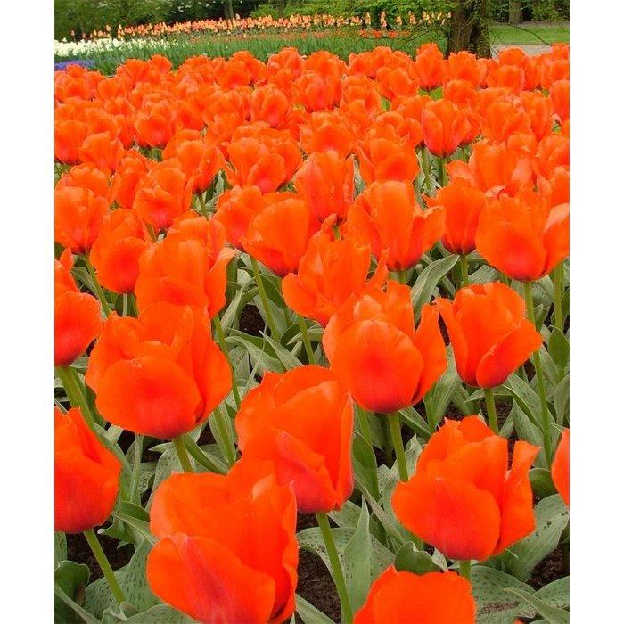 Tulip Casa Grande
