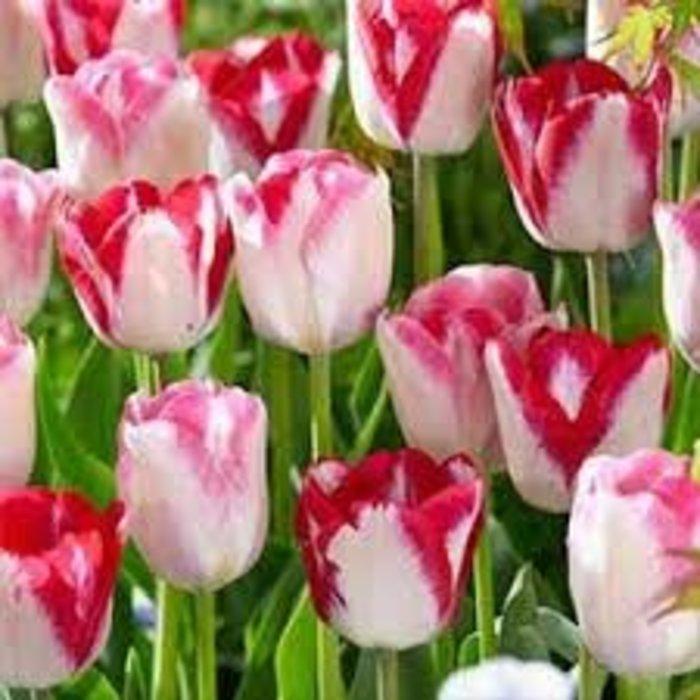 Tulip Love at First Blush