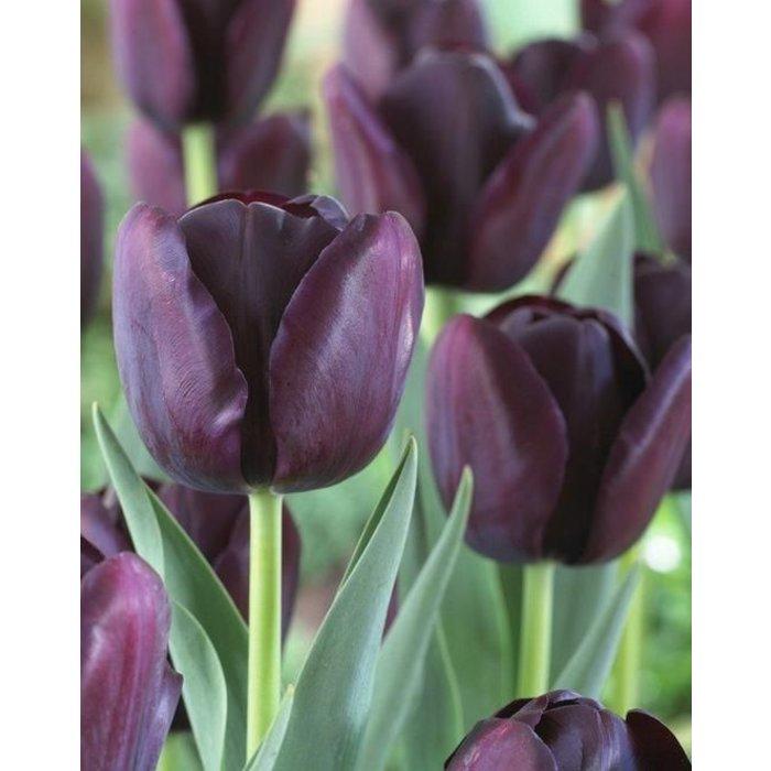 Tulip Queen Of Night PRE-ORDER