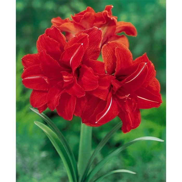 Amaryllis Double Red Peacock PREVIEW