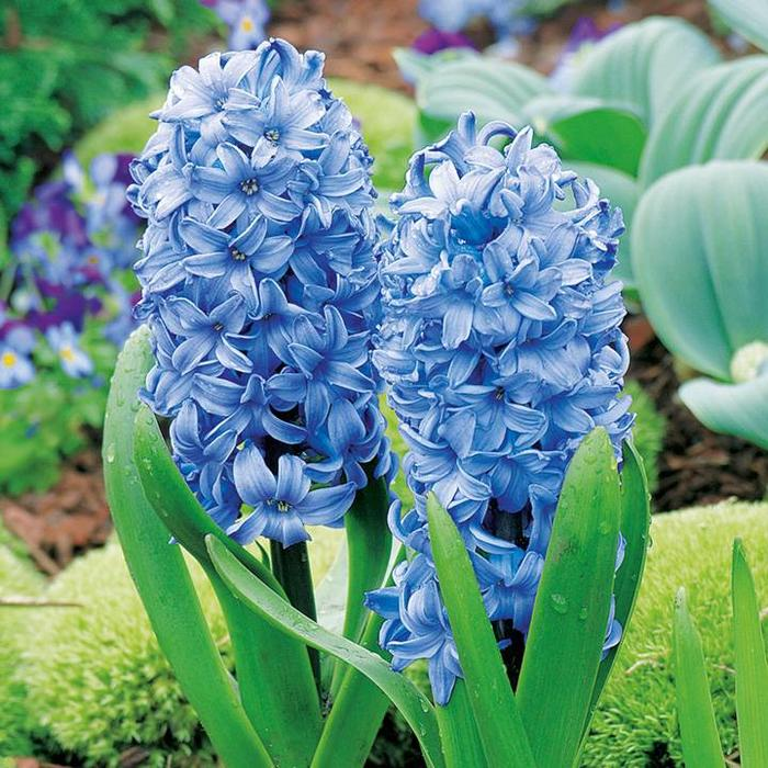 Hyacinth Delft Blue PREVIEW