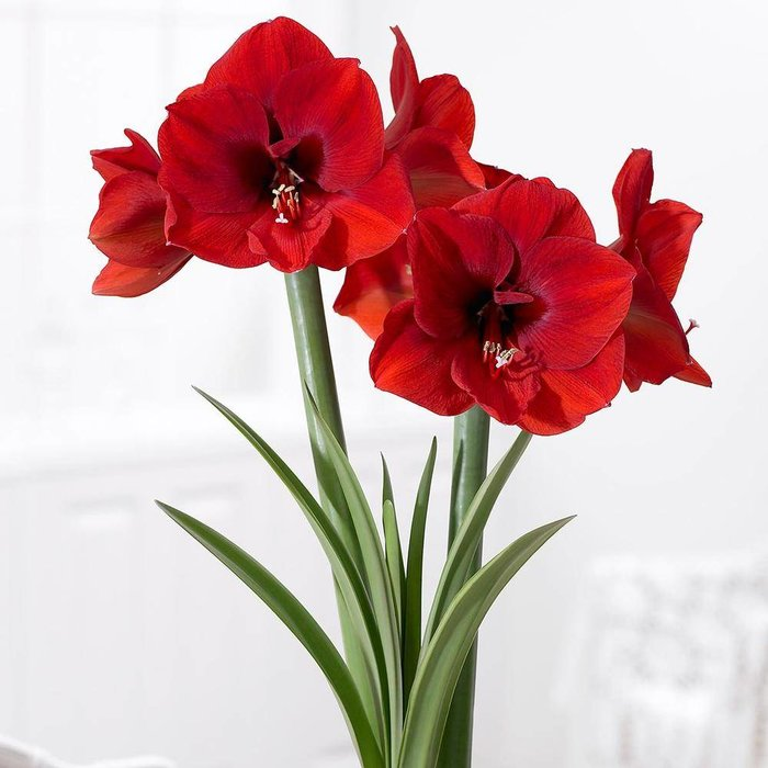 Amaryllis Red Lion PREVIEW