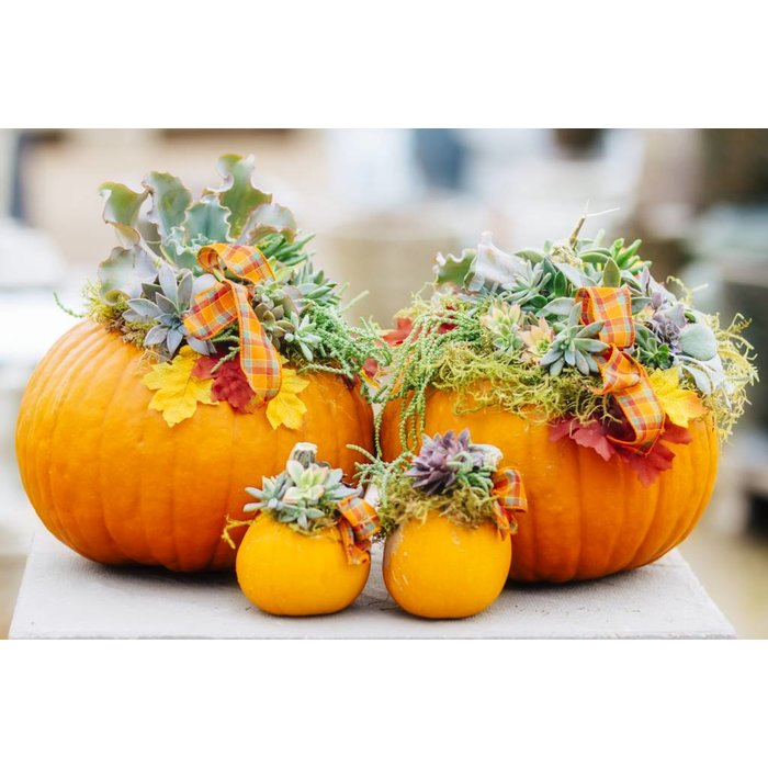 Succulent Pumpkins - Pickup September 27