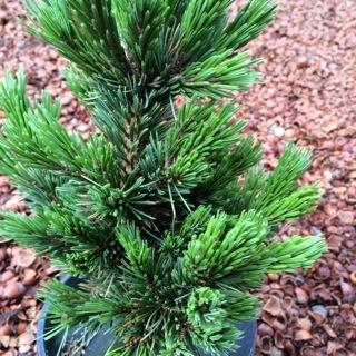 Pinus arist 'Sherwood Compact'