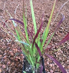 Grass - Imperata cylindrica 'Red Baron'