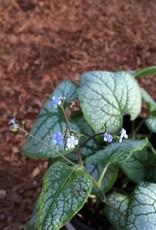 Brunnera macrophylla 'Jack Frost'