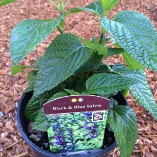 Salvia g. 'Black and Blue'