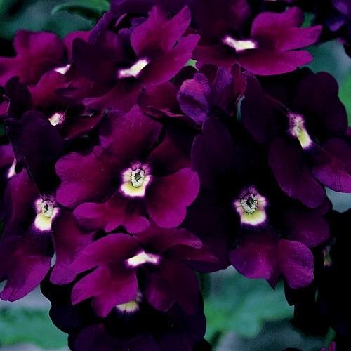 Verbena 'Lanai Royal Purple'
