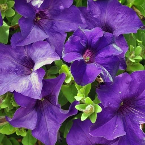 Petunia 'Surfinia Purple Majestic'