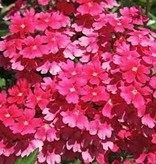 Verbena 'Aztec Wild Rose'